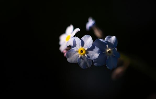 Picture nature, background, petals, forget-me-nots, inflorescence