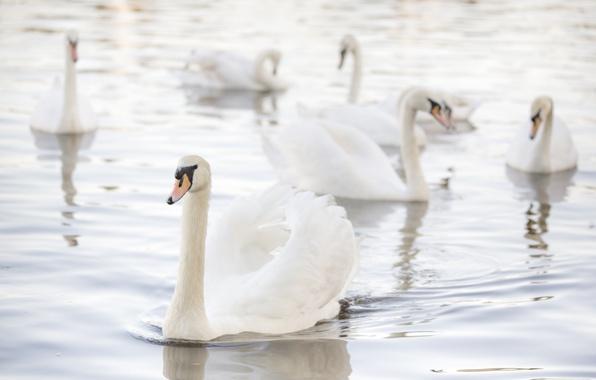 Picture light, grace, swans