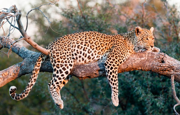 Picture the sun, nature, predator, leopard, lies, on the tree