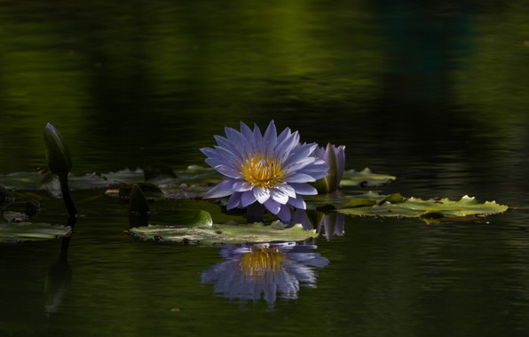 Picture water, reflection, lilac, buds, Nymphaeum