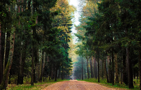 Picture road, falling leaves, spruce forest