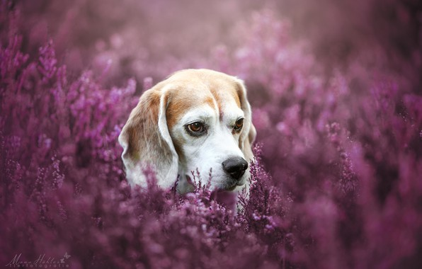 Picture face, dog, bokeh, Heather, Beagle