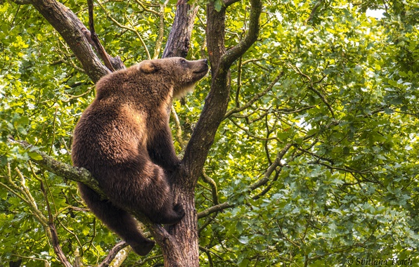Picture tree, bear, on the tree, Brown bear, The Bruins, highly sit – look away