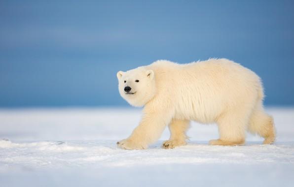 Picture winter, snow, bear, polar bear