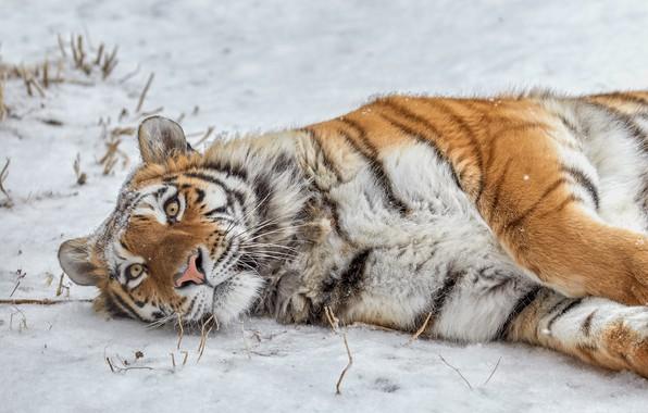 Picture snow, wild cat, tigress
