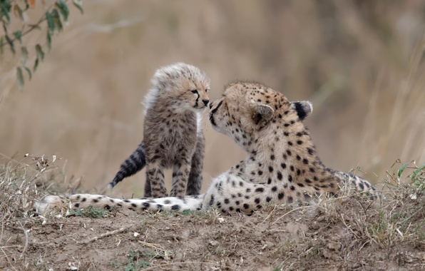 Picture nature, background, cheetahs