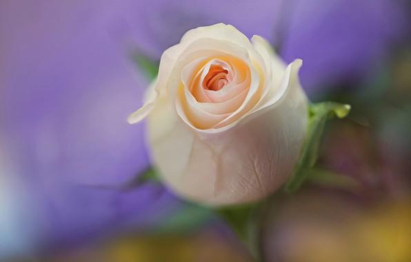 Picture macro, background, tenderness, rose, Bud, bokeh