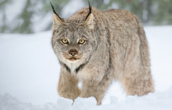 Picture winter, look, snow, wild cat, Lynx