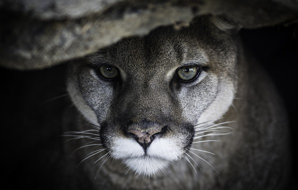 Picture face, portrait, predator, Puma, wild cat, Cougar