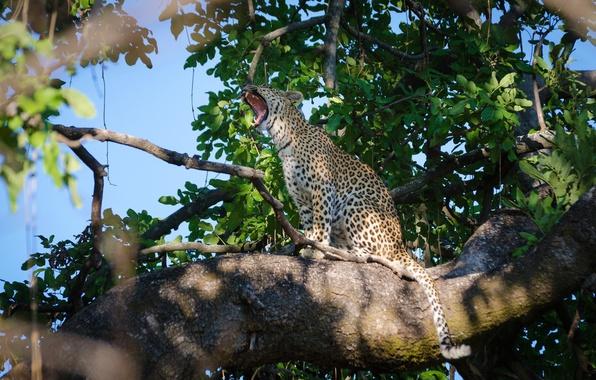 Picture predator, leopard, sitting, wild cat, yawns, on the tree