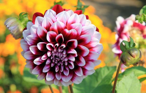 Picture flower, summer, nature, flowering, Dahlia