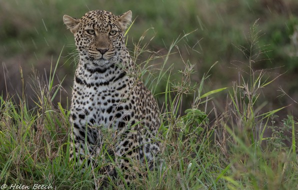 Picture face, thickets, predator, leopard, wild cat, young