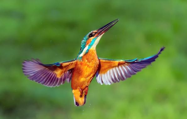 Picture drops, bird, wings, Kingfisher, kingfisher