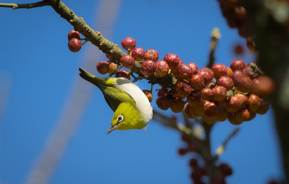 Picture birds, berries, branch, Japanese white-eye