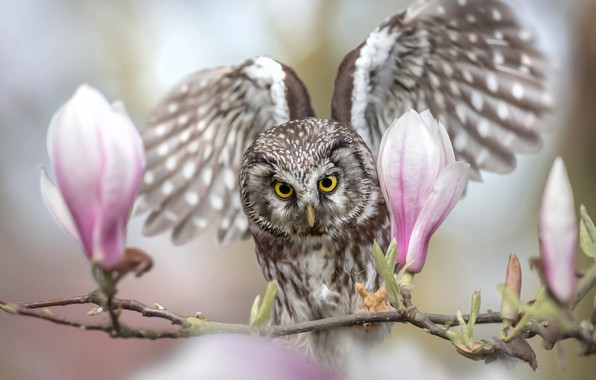 Picture flowers, owl, bird, wings, branch, buds, Magnolia, the scope