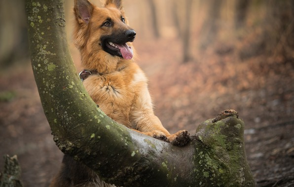 Picture tree, dog, bokeh, shepherd