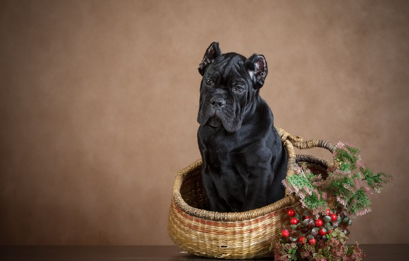 Picture berries, background, basket, dog