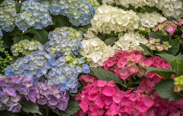 Picture summer, flowers, nature, Bush, flowering, Hydrangea