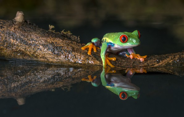 Picture water, macro, nature, reflection, the dark background, frog, green, pond, fauna, dendrobates, Berezhok