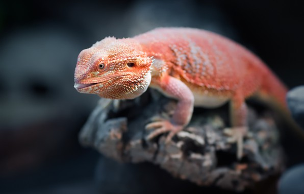 Picture orange, reptile, Bearded Dragon