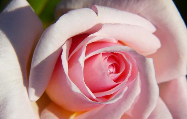 Picture macro, tenderness, rose, petals, Bud
