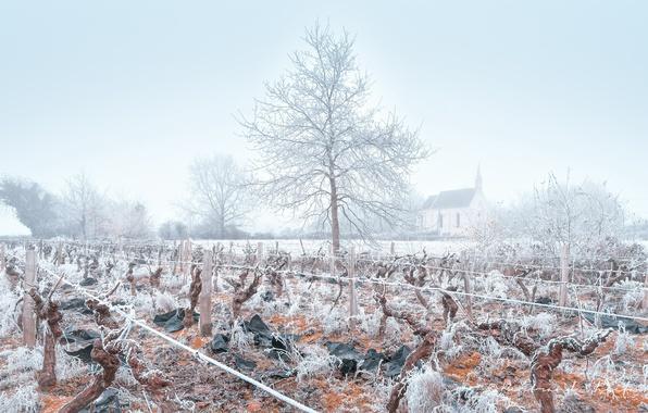 Picture winter, frost, fog, vineyard
