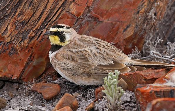 Picture stones, bird, beak, tail, horned lark