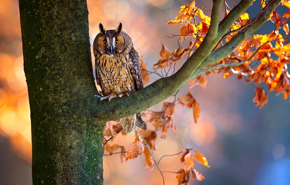Picture autumn, branches, tree, owl, bird, foliage