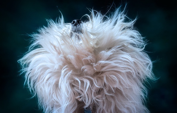 Picture background, dog, wool