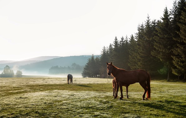 Picture field, forest, grass, trees, landscape, nature, fog, morning, horse