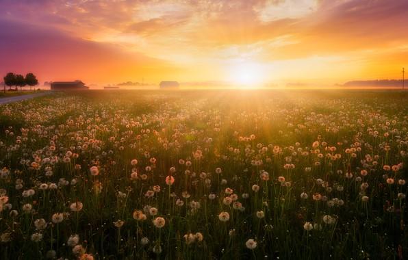 Picture field, summer, light, sunset, nature, fog, dandelions