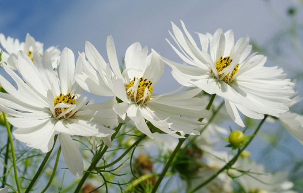 Picture the sky, flowers, nature, tenderness, beauty, plants, September, cottage, flora, kosmeya, snow white, annuals