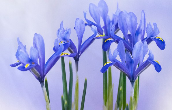 Picture background, petals, irises