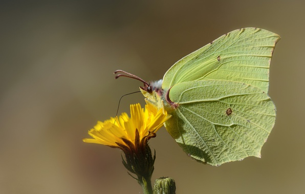 Picture flower, butterfly, the limonite, brimstones