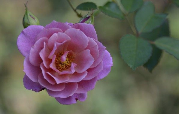 Picture flower, macro, rose, petals