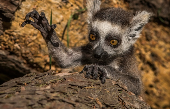 Picture paw, cub, face, a ring-tailed lemur, Katta