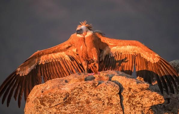 Picture bird, wings, predator, Grif, Griffon vulture