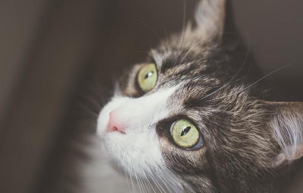 Picture cat, cat, look, background, portrait, muzzle, kitty, cat