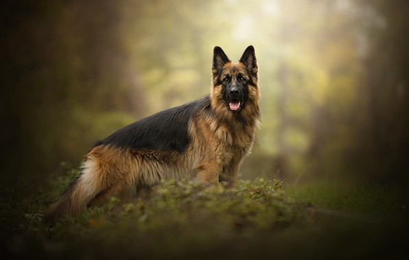 Picture dog, shepherd, Gin, Dog Photography