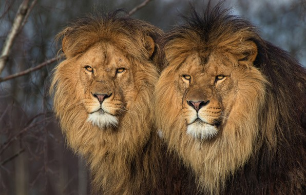 Picture animals, cats, nature, background, predators, Leo, pair, wild cats, lions, two