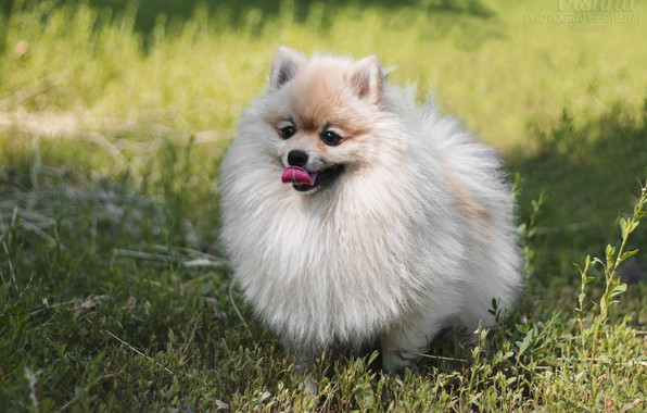 Picture grass, look, dog, dog, puppy, fluffy, Spitz, fluffy dog, small German Spitz, small Spitz
