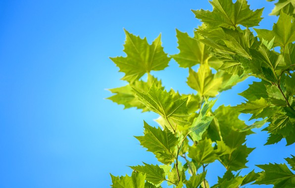 Picture summer, the sky, leaves, maple