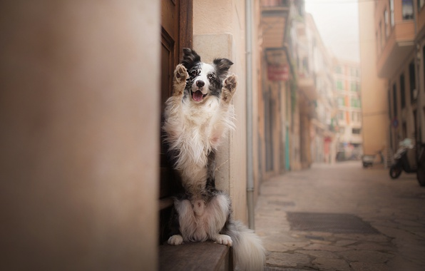 Photo wallpaper each, street, The border collie, dog