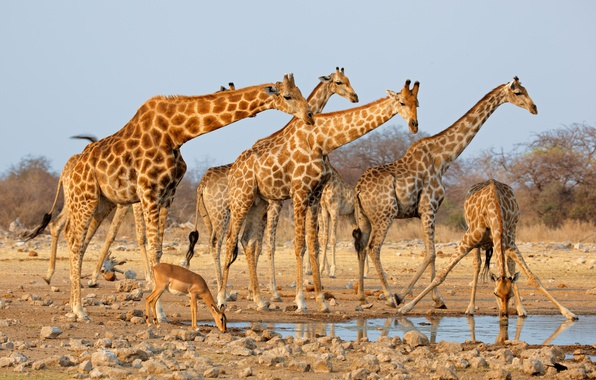 Picture sand, the sun, stones, giraffes, drink, the bushes, the herd