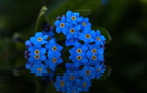 Picture water, macro, reflection, forget-me-nots