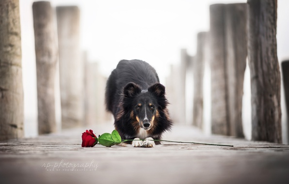 Picture flower, rose, dog
