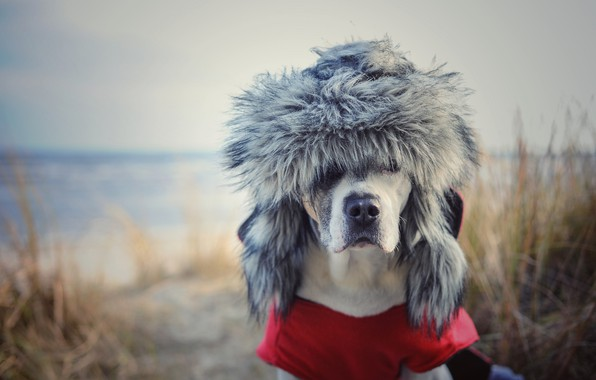 Picture background, dog, hat