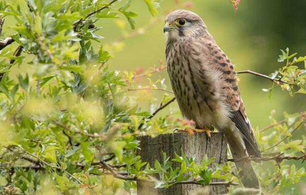 Picture branches, bird, Falcon, Kestrel