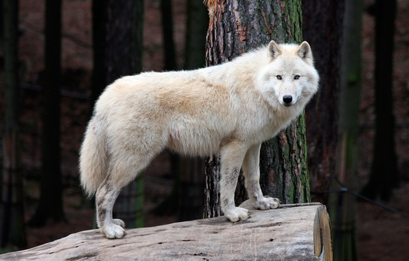 Picture forest, white, trees, nature, wolf, predator