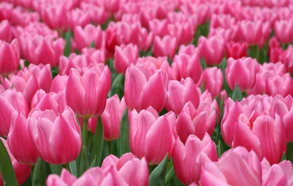 Picture pink, tulips, a lot